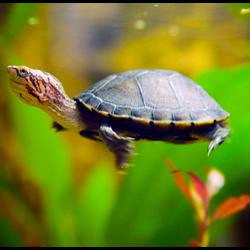 Как содержать черепах в аквариуме?